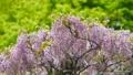 紫藤 植物 植物學 76781829
