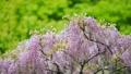 紫藤 植物 植物學 76781830