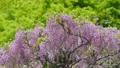 紫藤 植物 植物學 76781831