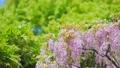 紫藤 紫藤花架 植物 76781832