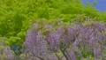 紫藤 紫藤花架 植物 76781833