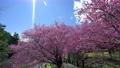 Beautiful cherry blooms (sakura tree) in the park. 76795628