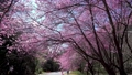 Beautiful cherry blooms (sakura tree) in the park. 76795629
