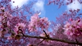 Beautiful pink cherry blooms (sakura tree) in the park, copy space, close up. 76795630