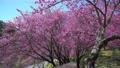 Beautiful cherry blooms (sakura tree) in the park. 76795631