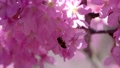 A bee flying in beautiful pink cherry blossom (Sakura tree) in the park. 76795633