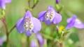 春の花ムラサキサギゴケのアップ 76801042
