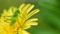 タンポポの花の上のヤブキリ幼虫 横向きアップ 4月 76801045