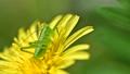 タンポポの花の上のヤブキリ幼虫 横からのアップ 4月 76801046