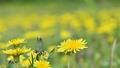 春の野原に群生するタンポポ アップ  76801048