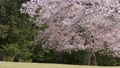 cherry petals falling like snowflakes, cherry blossom, flower 76803657