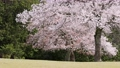 cherry petals falling like snowflakes, cherry blossom, flower 76803662