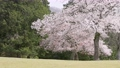 cherry petals falling like snowflakes, cherry blossom, flower 76803664