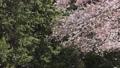 cherry blossom, bloom, blossom 76803666