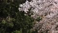 cherry petals falling like snowflakes, cherry blossom, flower 76803668