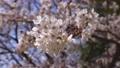 cherry blossom, cherry tree, bloom 76803670