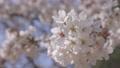 cherry blossom, cherry tree, bloom 76803671