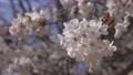 cherry blossom, cherry tree, bloom 76803673