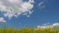 藍天和油菜花 76820074