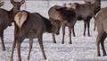 Herd of Elks Cervus elaphus sibiricus Grazing in Winter 76824555