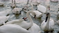 many swans swim on the river 76842244