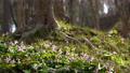 dogtooth, katakuri, flowers 76851247