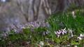 dogtooth, katakuri, flowers 76851248