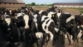 Set of young bulls. Black and white cows on pasture. Herd of ox at summer field 76856591
