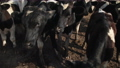 Set of young bulls. Black and white cows on pasture. Herd of ox at summer field 76856593