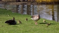 Family of greylag geese with small babies. The greylag goose, Anser anser is a large goose species of the waterfowl family Anatidae 76860586