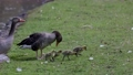 Family of greylag geese with small babies. The greylag goose, Anser anser is a large goose species of the waterfowl family Anatidae 76860587