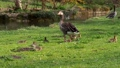 Family of greylag geese with small babies. The greylag goose, Anser anser is a large goose species of the waterfowl family Anatidae 76860592