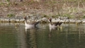 Family of greylag geese with small babies. The greylag goose, Anser anser is a large goose species of the waterfowl family Anatidae 76860594