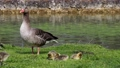 Family of greylag geese with small babies. The greylag goose, Anser anser is a large goose species of the waterfowl family Anatidae 76860597