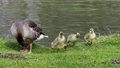 Family of greylag geese with small babies. The greylag goose, Anser anser is a large goose species of the waterfowl family Anatidae 76860598