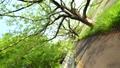 「埼玉県」さいたま市 見沼代用水の新緑並木 76873678