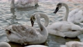 many swans swim on the river 76875732