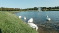 Ukraine Mezhyhirya park 20 June 2020. White swans on the lake near the green shore against the background of the fountain 76879242