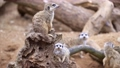 Mother meerkat with baby on guard sitting on a wood piece. Meerkat or suricate adult and juvenile. 76888005