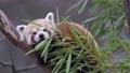 Red panda (Ailurus fulgens) on the tree. Cute red panda bear eats bamboo. 76888006