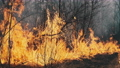 Fire in the Forest, Burning Dry Grass, Trees, Bushes, Flame and Smoke, Wildfires 76888317