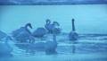 朝靄の氷の池で休み、お辞儀するブルースワン 鳴き声入り 76934456