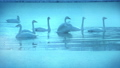 朝靄の氷の池で優雅に泳ぎ、羽ばたくブルースワン 鳴き声入り 76934459