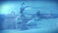 雪が降る氷の池で休み、羽ばたくブルースワン 鳴き声入り 76934462