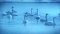 朝靄の氷の池で休み、お辞儀するブルースワン 鳴き声入り 76934463