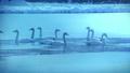 朝靄の氷の池で優雅に泳ぎ、お辞儀するブルースワン 鳴き声入り 76934465