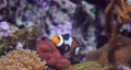 Topical saltwater fish ,Anemonefish. Clownfish or anemonefish are fishes from the subfamily Amphiprioninae in the family Pomacentridae. 76959996