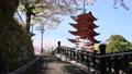 宮島の五重塔と舞い散るさくら 76970713