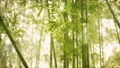 Asian Bamboo forest with sunlight 76977923