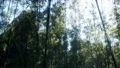 Windy Tranquil Arashiyama Bamboo Grove 76977931